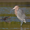 Reddish Egret, Little Estero Lagoon, Fort Myers Beach, Florida