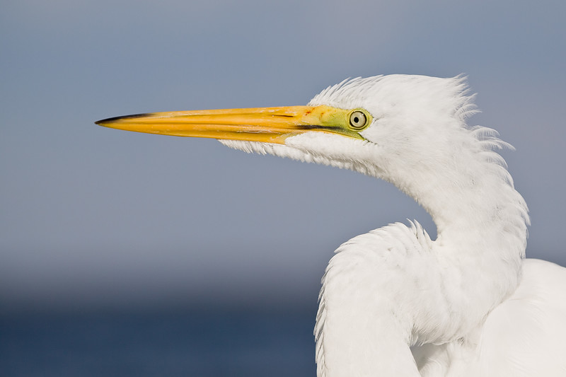 Great Egret, Sanibel Island, Florida