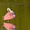 Roseate Spoonbill, preening, Ding Darling NWR, Sanibel Island, Florida
