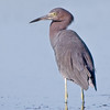 Little Blue Heron, Tierra del Verde, Florida