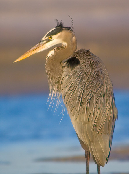 Great Blue Heron, Fort De Soto, Florida