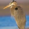 Great Blue Heron, Fort De Soto, Florida