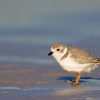Piping Plover, Fort De Soto Park, Florida