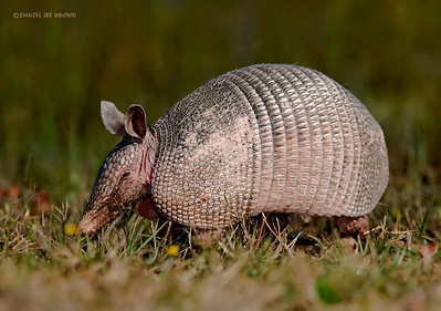 Nine Banded Armadillo, Kissimmee Florida, 1-26-2009. Shot while laying on my stomach.