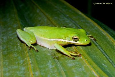 Green Treefrog (Hyla cinerea). Viera Wetlands,Fl. 2009