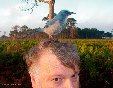 This is a very tame Florida Scrub Jay. I had walked about 1/2 mile in search of this bird when suddenly, to my right, I heard jays calling close by. Simaltaniously, this bird landed on my head! And, for the 30 minutes or so that I spent photographing the group of about a dozen, one of them was on my head, gently pecking. I assume that they are fed by visitors here!