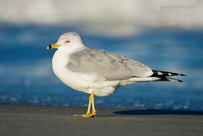 Ring-billed Gull, Melbourne, Fl. Another shot taken while laying on my stomach.