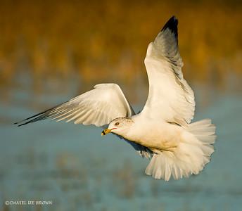 Ring-billed Gull, Lake Cypress, Florida. 1-26-2009