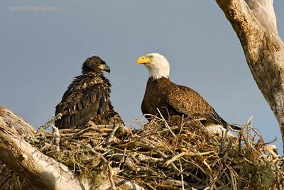 Bald Eagles, Kissimmee Florida, 1-26-2009