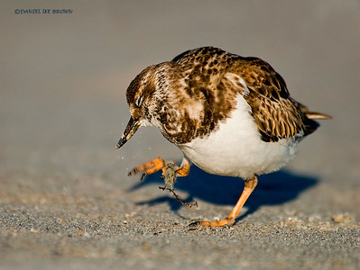Ruddy Turnstone. Melbourne, Florida, 1-26-2009. Shot while laying in the sand on my stomach for a nice low perspective.