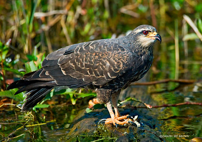 Female Snail Kite, Kissimmee Florida, 1-26-2009.  She is just finishing a snail, the white stuff between her feet is the snail that she had extracted from it's shell.