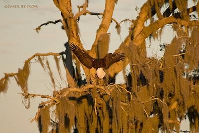 Bald Eagle and Spanish Moss, Kissimmee Florida, 1-26-2009