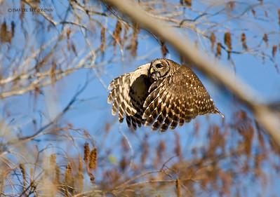 Barred Owl. Kissimmee Florida, 1-26-2009