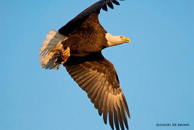 Bald Eagle, Kissimmee Florida, 1-26-2009