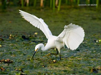 Snowy Egret hunting. Kissimmee, Fl.