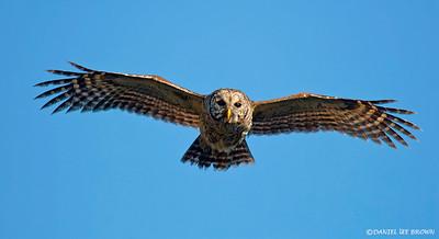 Barred Owl, Kissimmee Florida, 1-26-2009