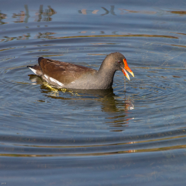 20150130_Green Cay Fl Birds_Common Moorhen_3951