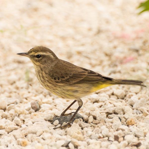 20150118_Florida 2015_Palm Warbler Crop_DSC3470