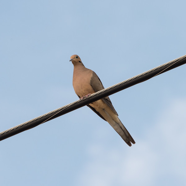20150126_Florida 2015_Eurasian Collared Dove_DSC3532