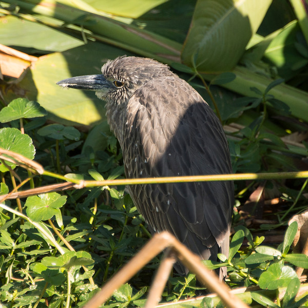 20150130_Green Cay Fl Birds_Yellow-crowned Night-Heron_4191