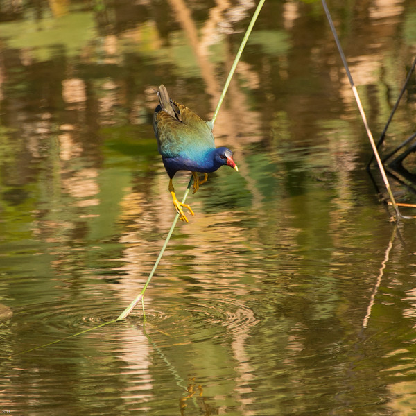20150130_Green Cay Fl Birds_Purple Gallinule_4111