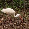 20150112_Dagny Johnson SP Florida_White Ibis_DSC3210