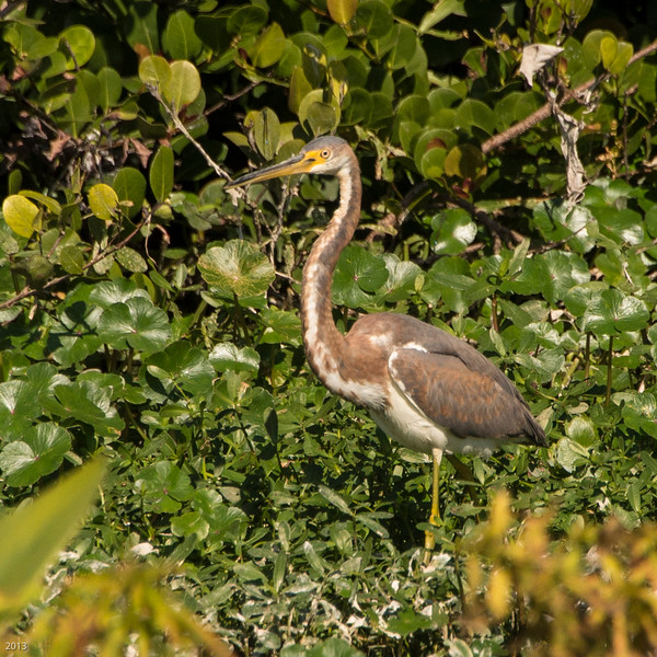 20150130_Green Cay Fl Birds_Tricolored Heron_4218