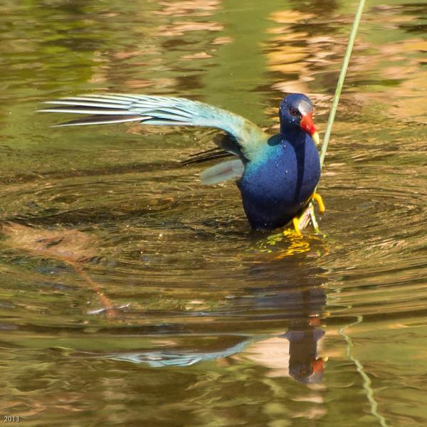 20150130_Green Cay Fl Birds_Purple Gallinule_4138