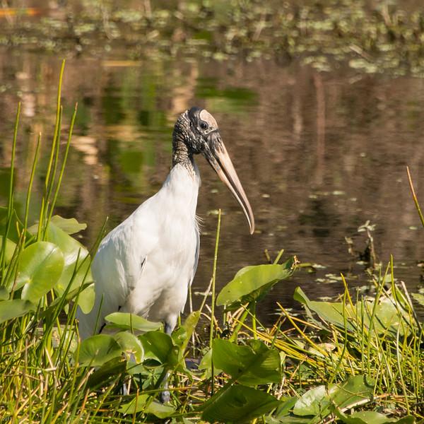 20150130_Green Cay Fl Birds_Wood Stork_3976