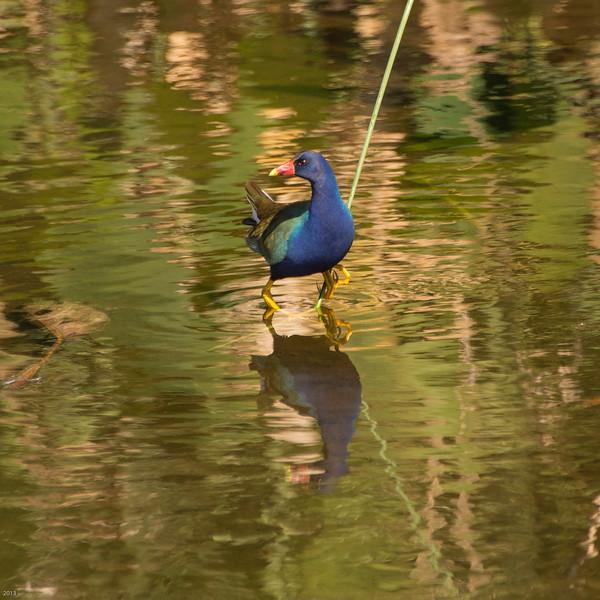 20150130_Green Cay Fl Birds_Purple Gallinule_4125