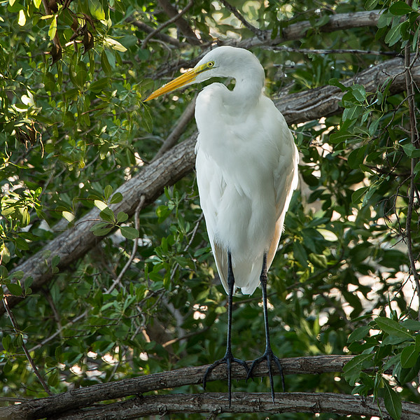 20150127_Florida 2015_Great Egret Sq_DSC3859