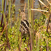 20150130_Green Cay Fl Birds_American Snipe_4237