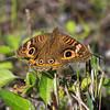Mangrove Buckeye Butterfly