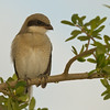 Juvi Loggerhead Shrike