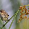"Yellow-rumped Warbler - Orland Wetlands<br />  <a href=""http://www.wklein.smugmug.com"">http://www.wklein.smugmug.com</a>"