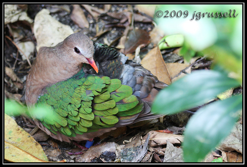 Green winged dove - Florida