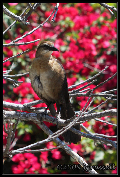 Female boat tailed grackle - Florida