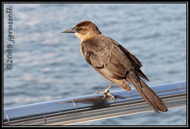 Female boat tailed grackle - Florida