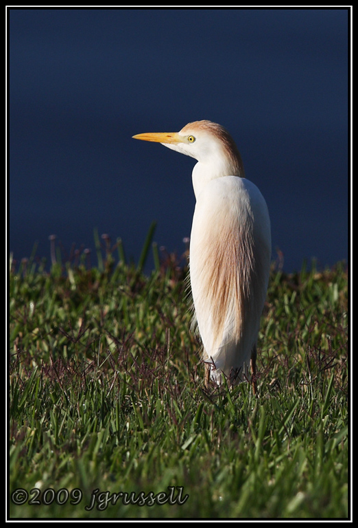 Cattle egret - Florida