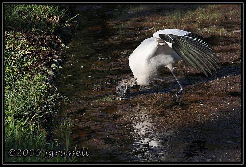 Wood stork - Florida