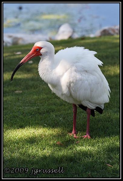 White ibis - Florida