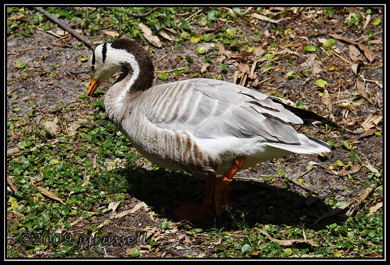Bar-headed goose - Florida