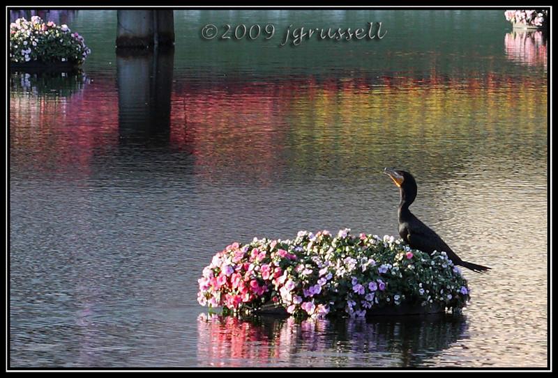 Cormorant - Florida