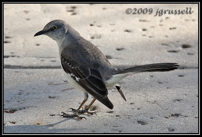 Mockingbird in Florida