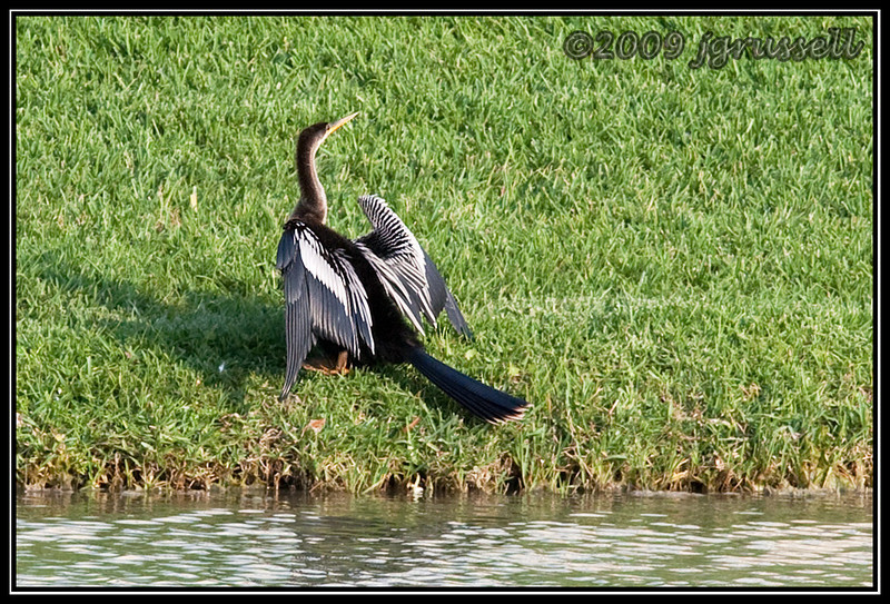 Anhinga drying its wings - Florida