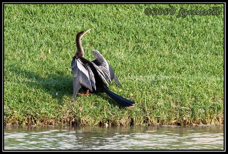 Anhinga drying its wings - Florida