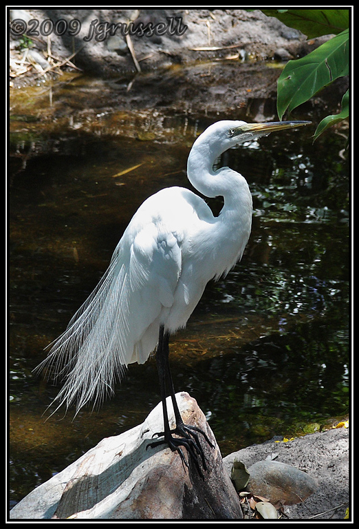 Great egret - Florida