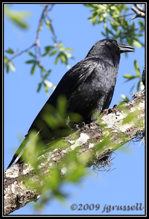 American crow - Florida