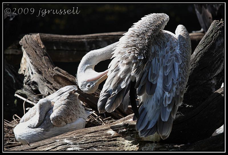 Pink pelican  - Florida