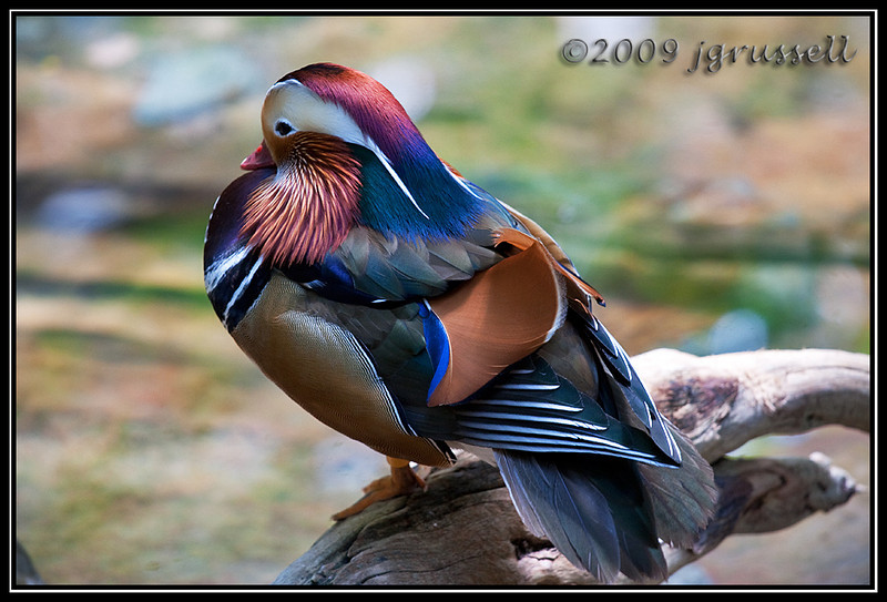 Mandarin duck - Florida